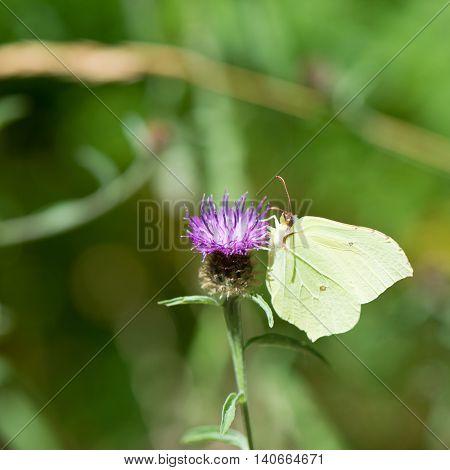 common brimstone on purple Thistle flower