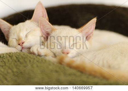Kittens sleeping is two adorable white kitties cuddled up together having their daytime cat nap.