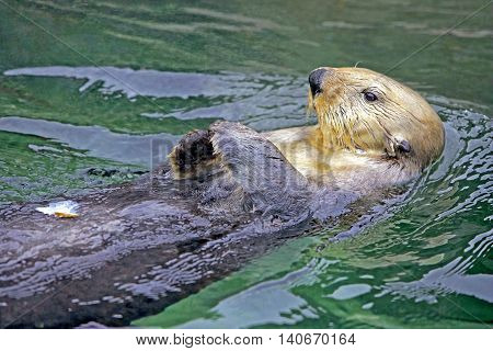 Close up of cute Seaotter swimming on its back