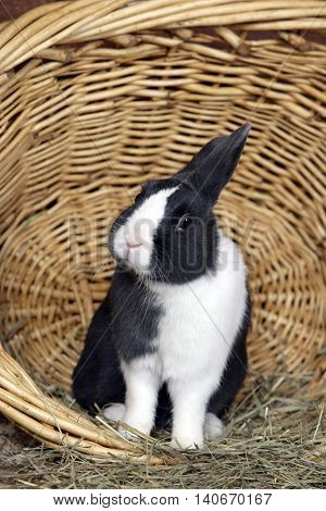 Domestic Rabbit Netherland Dwarf in willow  basket