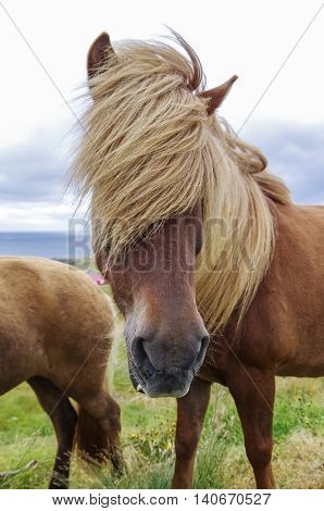 Icelandic horse with long mane close-up. Iceland