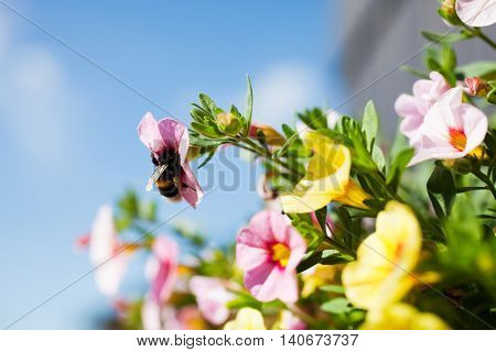 Fluffy bumlebee in pink flower