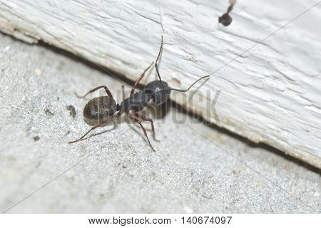 A carpenter Ant near a wood wall.