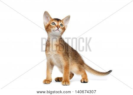 Cute Abyssinian Kitty Standing and Looking up on Isolated White Background, Front view, Baby Animal