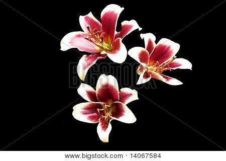 Purple Centered Lilies