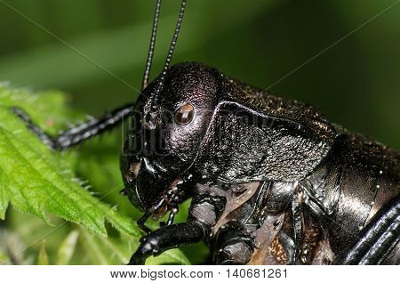 big-bellied cricket (Bradiphorus Dasiphus)