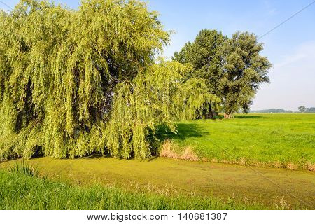 Polder landscape in the Netherlands with a huge weeping willow tree and a duckweed-covered stream in the foreground. It's a sunny day in the summer season.