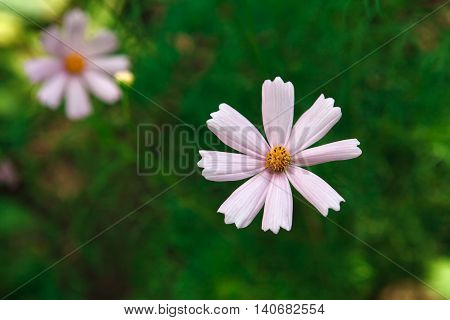 Mexican Aster pastel pink flower or Garden Cosmos, closeup outdoors at green background. Its Latin name is Cosmos Bipinnatus Radiance, native to Mexico. Popular annual plant cosmea.