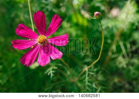Mexican Aster bright pink flower or Garden Cosmos, closeup outdoors at green background. Its Latin name is Cosmos Bipinnatus Radiance, native to Mexico. Popular annual plant cosmea.