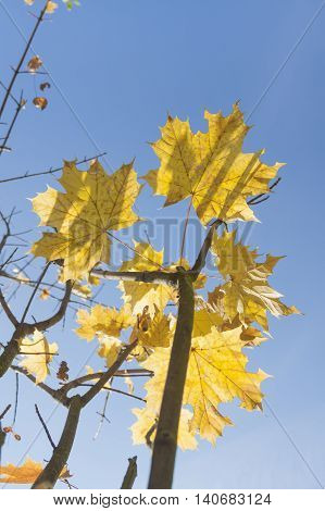 Yellow acer leaves sunlit against clear sky