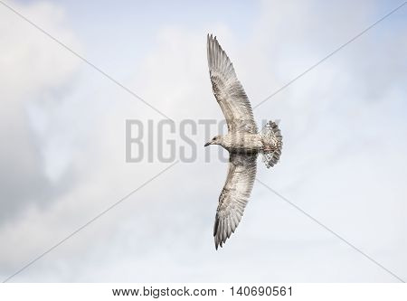 Young Seagull Flying with a cloudy background.
