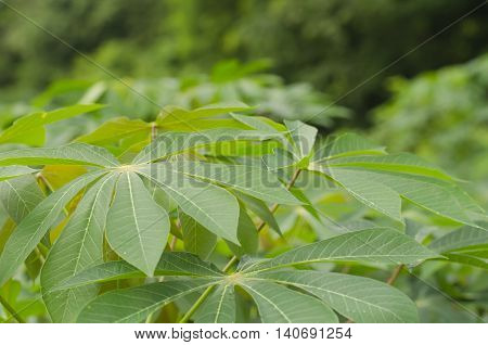 Background Cassava or manioc plant leave in Thailand.
