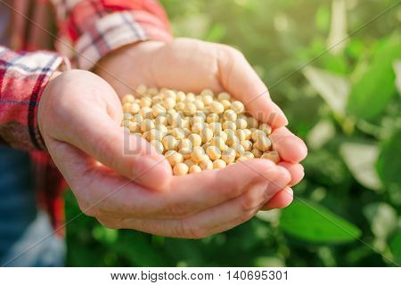 Female farmer with handful od soybean in cultivated field agricultural worker harvesting soy crops on bright sunny day