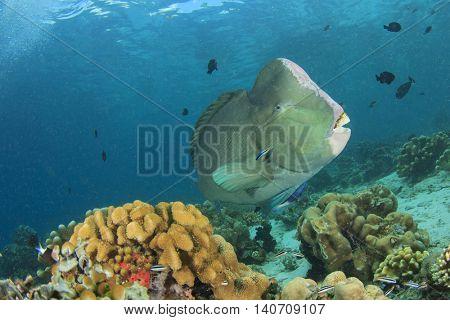 Fish and coral reef: Bumphead Parrotfish