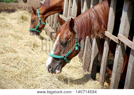 Purebred young mares eating dry hay at animal farm