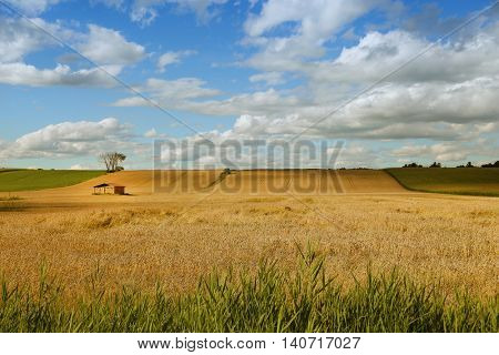Little shed in a middle of a yellow field with a blue sky full of fluffy clouds