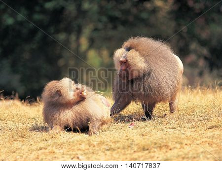Two baboons on the grass