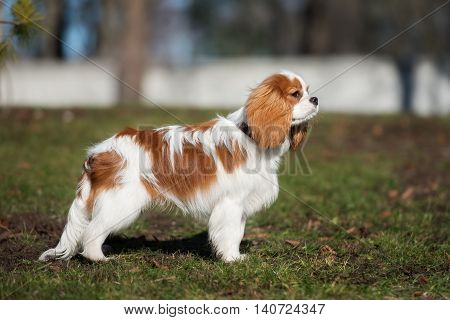 cavalier king charles spaniel dog  posing outdoors