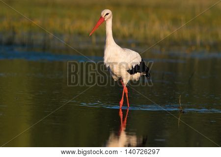 White stork Ciconia walking on the bog