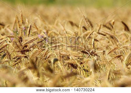 detail of golden wheat field in summer