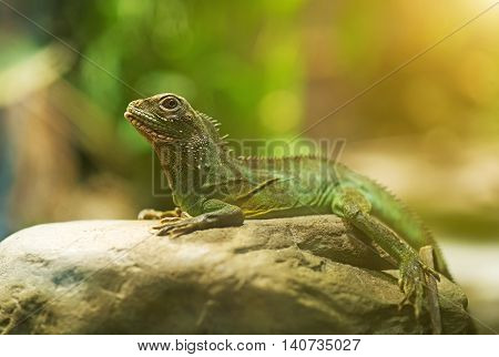 Portrait of Chinese water dragon. Physignathus cocincinus.