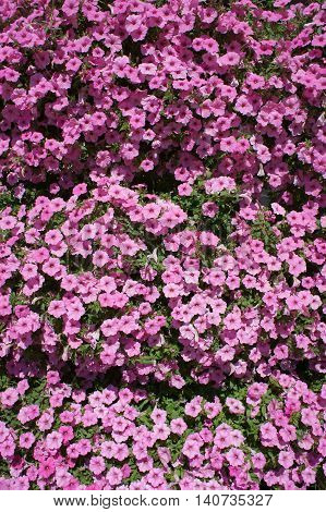 Petunia pink small flowers cover on a sunny day.