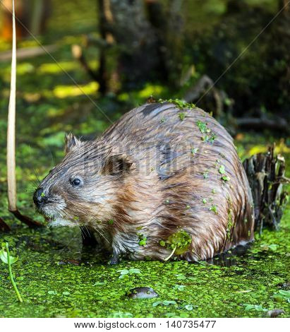 Beaver In The Swamp