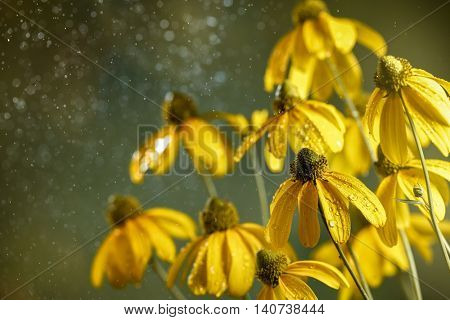 Black Eyed Susan Flower on abstract background