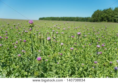 Large plantation of medicinal plant Milk thistle (lat. Carduus marianus L. Mariana mariana Hill) outdoors against a blue sky