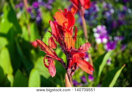 Canna Flower Red