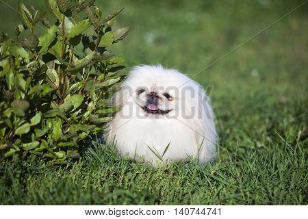 Pekingese, Chinese national breed,