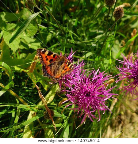 Small tortoiseshell butterfly (Aglais urticae) on purple greater knapweed (Centaurea scabiosa) flower