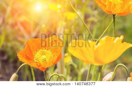 Yellow-orange flower colour wildflower with sunset.Peaceful concept picture.