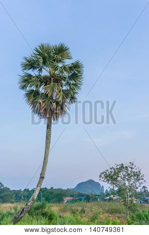 Sugar palm tree with green leaves blue sky and green field in sunshine day.