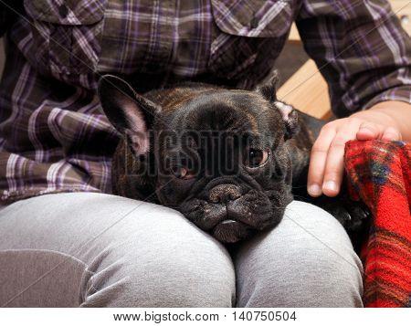 Sad dog on girl lap. French Bulldog Puppy