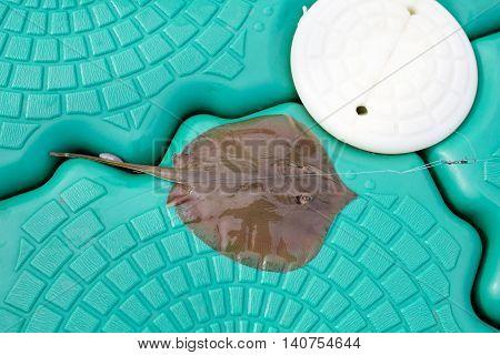 Closeup Dead Stingray Fish on the Pontoon
