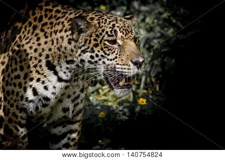 Closeup Leopard animals wildlife on black color background