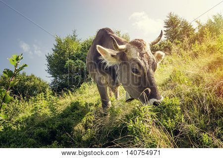 A cow with a bell around the neck eating the grass on the background of meadows