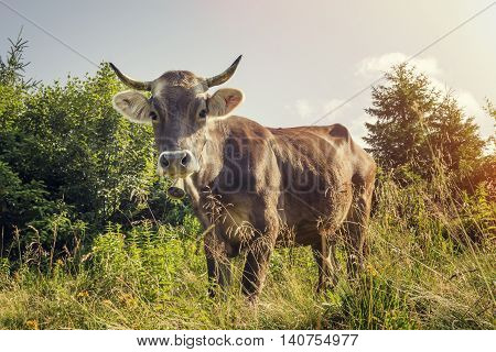 A cow with a bell around his neck grazing on a clear day