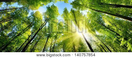 The sun beautifully illuminating the green treetops of tall beech trees in a forest clearing panorama shot