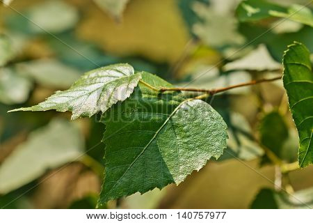 Sprig of birch trees with green leaves in the summer in the forest