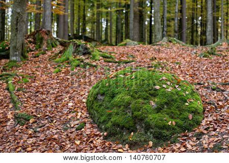 Forest with moss covered stone. Mossy tree trunk.