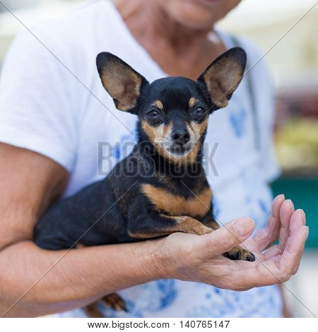 Miniature purebred pinscher dog in old lady's arm