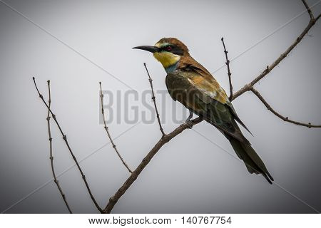 bee eater on white background in south Africa, wildlife photography