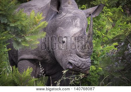 rhinoceros portrait with horn in south Africa, wildlife photography
