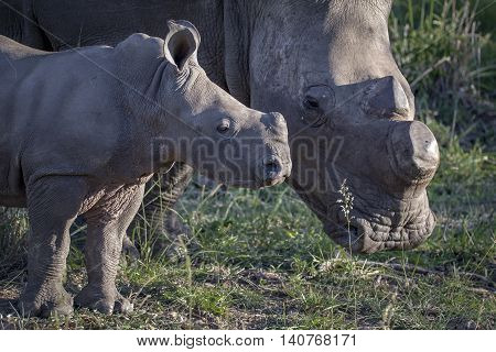 rhinoceros baby with mom in south Africa, wildlife photography