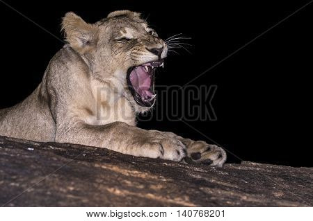 young lion growling, south african wildlife photography