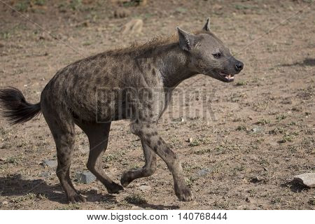 running hyena in wildlife photography in south Africa