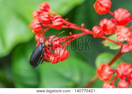 Blister beetle on red flowers with green leaves background.