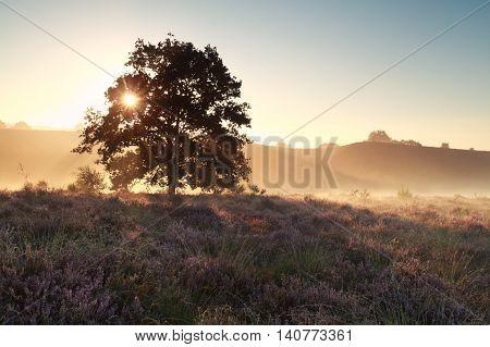 morning sunshine on heather flowering hill begind oak tree